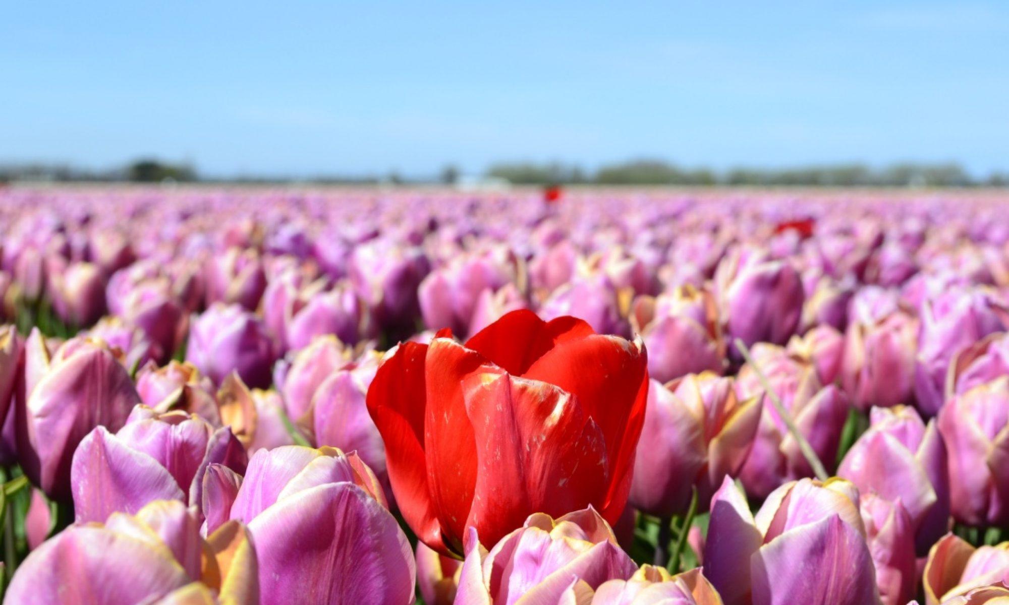 Toast & Tulips